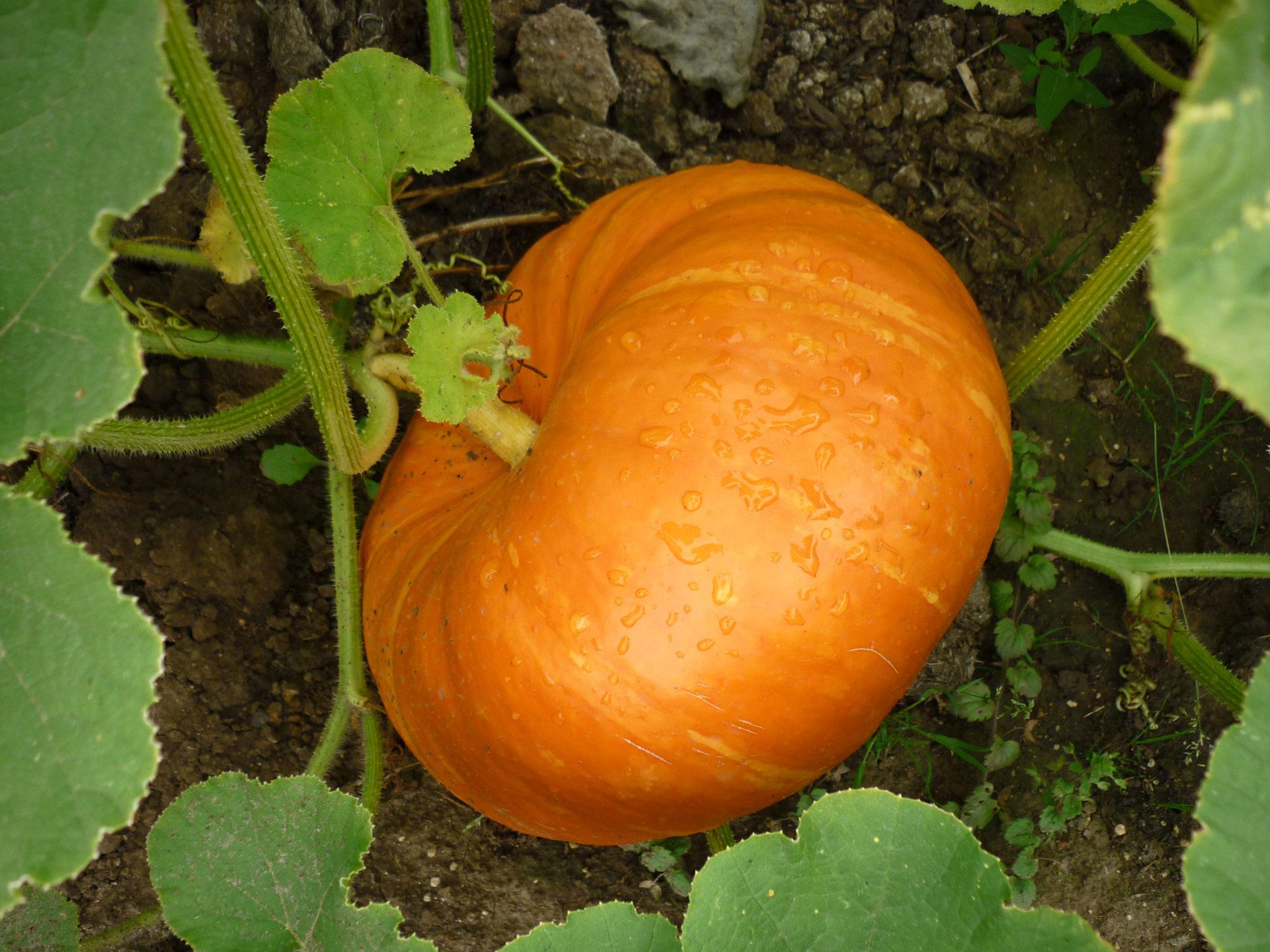 pumpkin-rouge-vif-detampes1